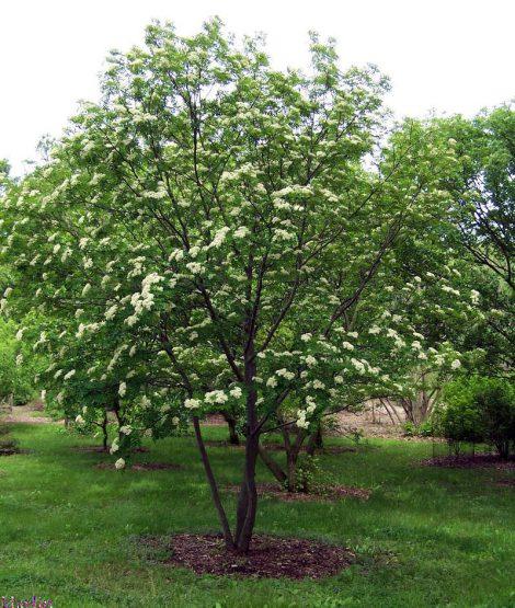 Small Ornamental Trees Oregon: Ash, Texas
