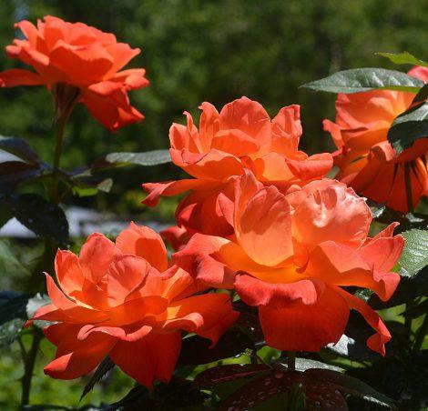 Rose, Living Easy
